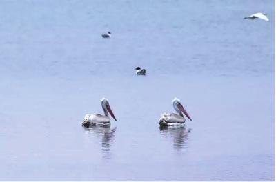 黑河流域湿地发现卷羽鹈鹕